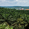 A Oil palm plantation with the palm oil factory seen in the background. Near Bukit Tigapuluh, Sumatra, Indonesia. © Daniel Rosengren