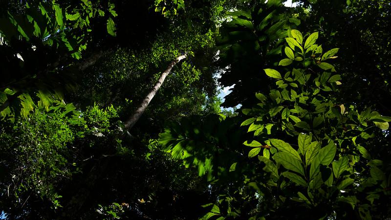 Green leaves of the rain forest around Cocha Salvador, Manu NP, Peru. © Daniel Rosengren