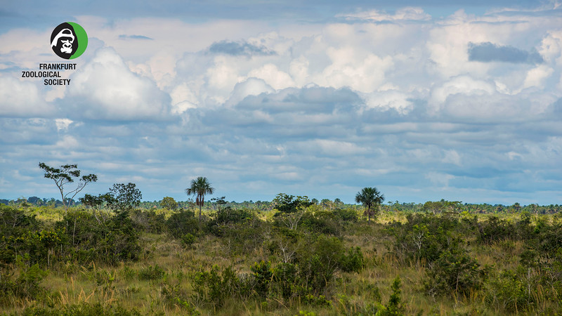 The grass is very tall on the Pampas del heath. To see the landscape I had to climb a tree. Bahuaja Sonene NP, Peru. © Daniel Rosengren