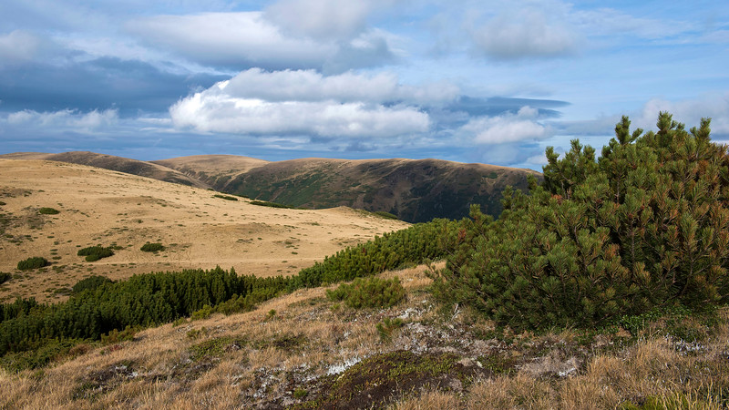 Mountain Pine in the alpine region in the Carpathia project area, supported by FZS. Romania. © Daniel Rosengren