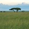 A pride of lions (Mukoma Gypsies) running to share a zebra.Serengeti NP, Tanzania. © Daniel Rosengren
