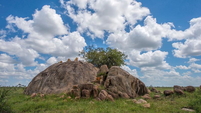 Three young male lions born in the Vumbi pride.Serengeti NP, Tanzania. © Daniel Rosengren