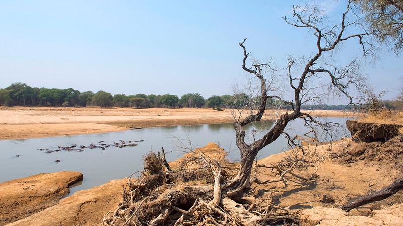 A Hippo pod seen in a river in North Luangwa National Park, Zambia. © Daniel Rosengren