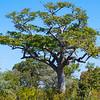 A tree in Gonarezhou NP, Zimbabwe. © Daniel Rosengren