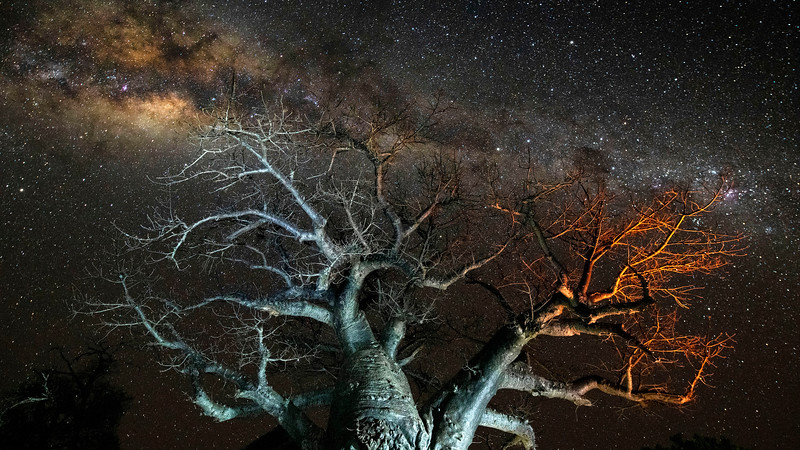 The starry sky seen over a baobab tree in Gonarezhou NP, Zimbabwe. © Daniel Rosengren
