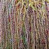 Fruchtstand der Bangalowpalme - Archontophoenix cunninghamiana - Australien