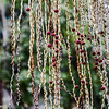 Fruchtstand der Bangalowpalme - Archontophoenix cunninghamiana -