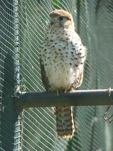 Faucon de l'île Maurice (Falco punctatus)