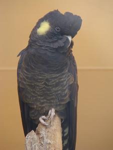 Cacatoès funèbre (Calyptorhynchus funereus funereus)