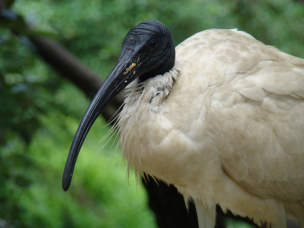 Healesville Sanctuary, VIC, Australie