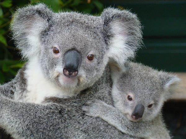 Lone Pine Koala Sanctuary, QLD, Australie