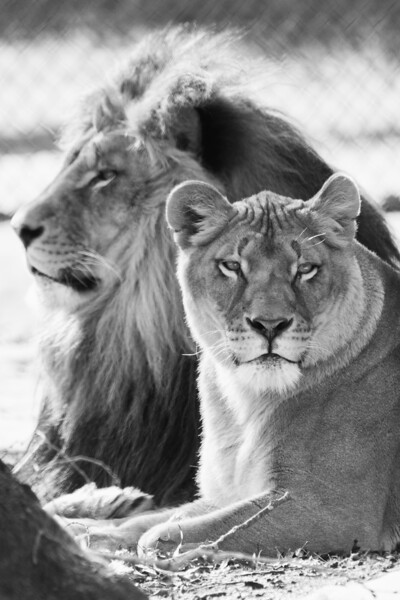 Lion and Lioness - BW (2018)