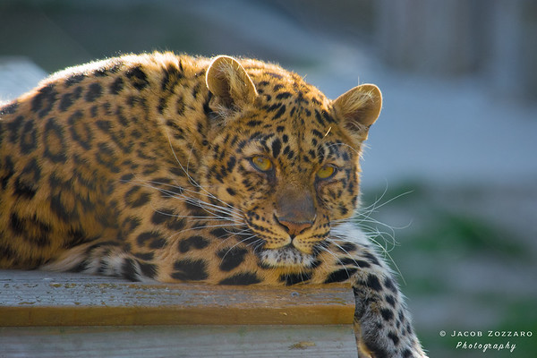 Leopard (2017)