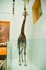 2005-08-14 - 157 - National Museum of Natural History - Hall of Mammals (Giraffe) - DSC_1048