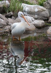 American Pelican - Juvi