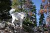 Juvenile wild mountain goat