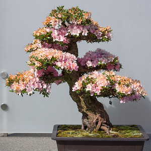 Pink Bonsai Flowers