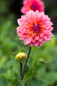Open and closed Dahlia
