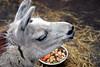 Colee the llama at the Alaska Zoo
