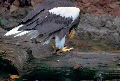 Steller Sea Eagle