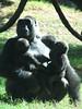 A gorilla holding her twin baby gorillas.