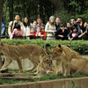 Lions and visitors.