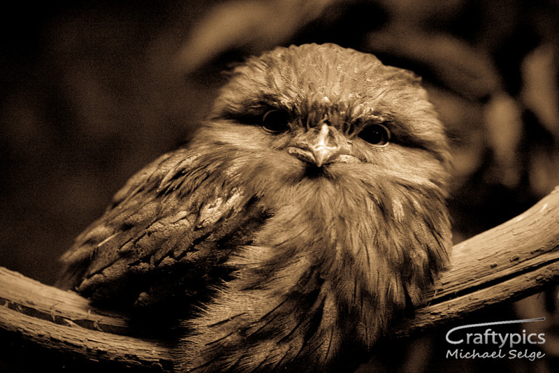 Frogmouth in Nocturnal house taken at 1/20 sec