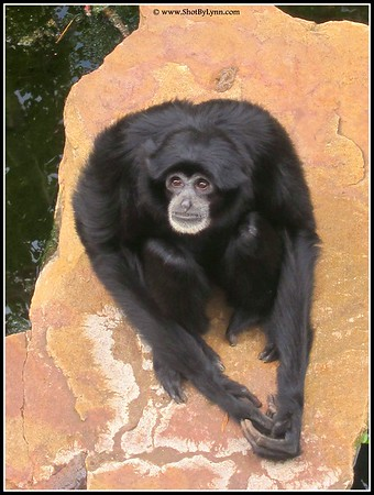 Monkey, Adelaide Zoo