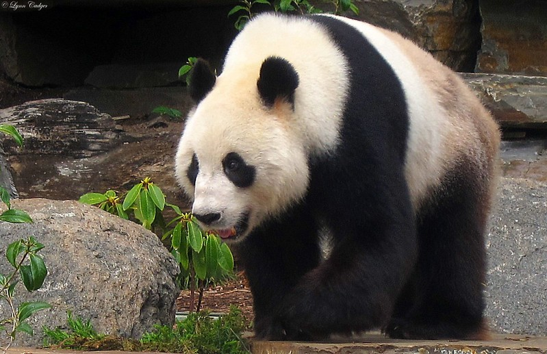 Wang Wang in Adelaide Zoo