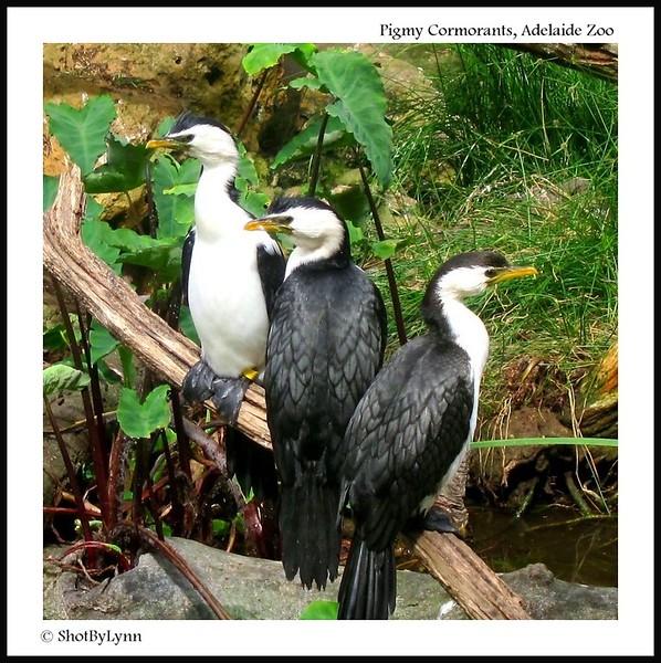 Pigmy Cormorants
