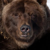 Kodiak Bear comes out of hibernation to check on the weather