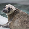 Harbor Seal - The Alaska Zoo