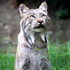 Canadian Lynx - The Alaska Zoo
