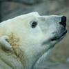 Polar Bear sow