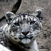 Snow Leopard - The Alaska Zoo