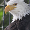 "Bald Eagle ""Tiska"" - The Alaska Zoo"