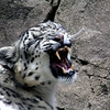 """Molly"" Snow Leopard - The Alaska Zoo"