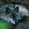 Cozy Wolf