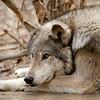Gray Wolf Rest