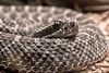 Twin Spotted Rattlesnake