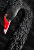 Australian Black Swan. Wildlife World Zoo. Litchfield Park. Arizona. 2007
