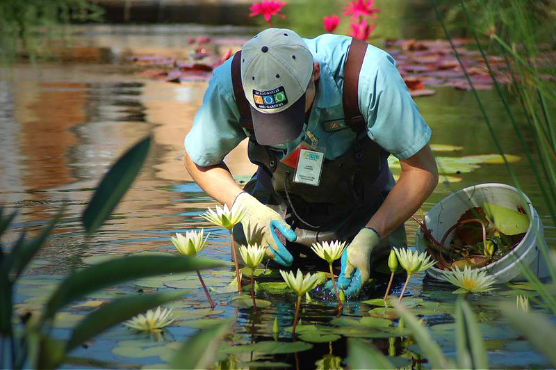 Water Lily Maintenance