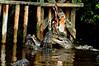 Feeding frenzy- Florida Gators at feeding time.