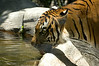 Malayan Tiger- one of 48 managed by Zoos in the U.S. .  Only 500 exist in the wild.