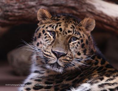 Rarest of the big cats, the amur leopard.