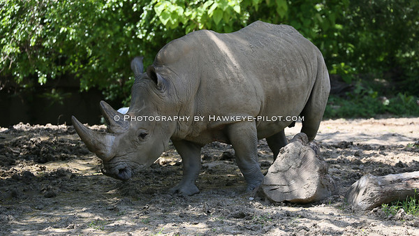 The White Rhino. A long time resident slowly ambles along in search of whatever they look for! Rhinos seem to conserve their energies for what matters most.