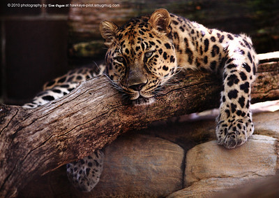 Amur leopards' paws are perhaps like snow shoes in the wild.