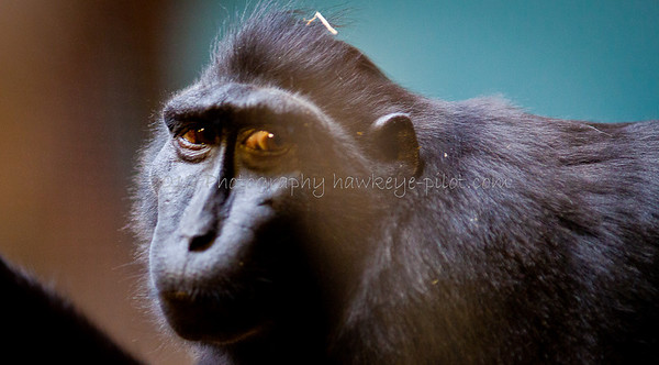 A macaque (pronounced 'ma-kack') at the Henry Doorly Zoo.