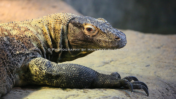The Komodo Dragon...an exciting new display in the Cat House (of all places?).