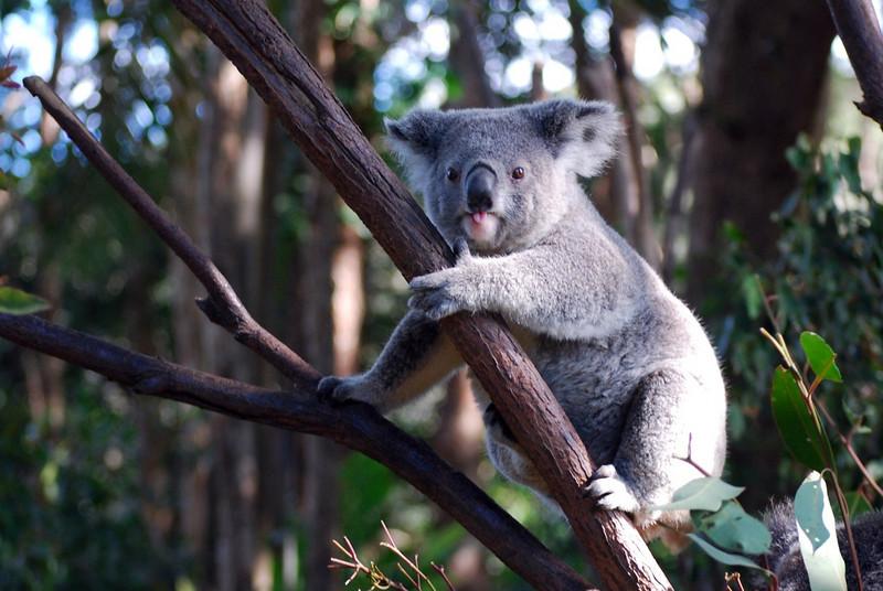 Koala, Corrumbin Sanctuary, Qld